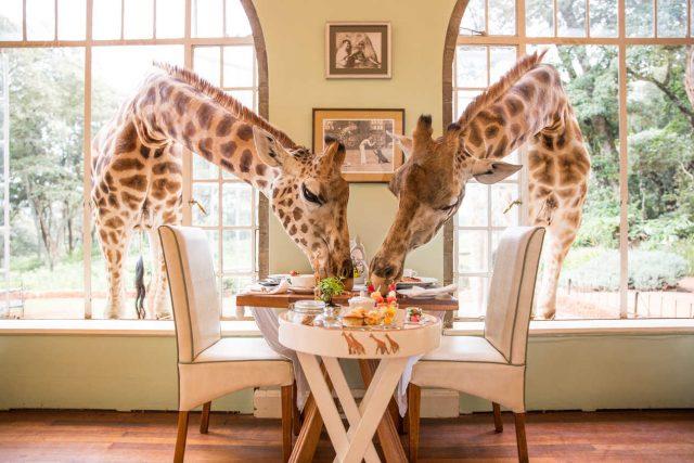 Отель с жирафами в Кении
